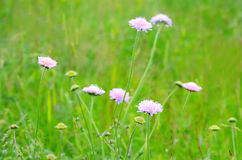 Succisa pratensis flowers Royalty Free Stock Photos