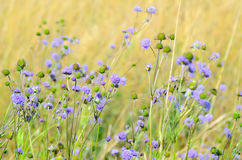 Succisa pratensis flowers on meadow Royalty Free Stock Photo