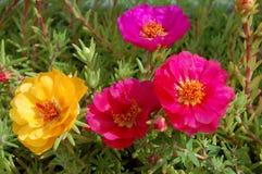 Succulant kwiaty Obrazy Stock