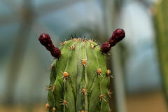 Cactus flowering Stock Photography