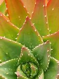 Succulant Royalty Free Stock Photos