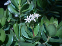 Succulen met bloem Royalty-vrije Stock Foto's