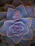 Succulent άνθος Στοκ Φωτογραφίες