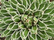 Succulent αφηρημένος στενός επάνω εγκαταστάσεων Στοκ Εικόνες