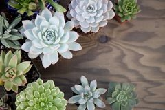 Succulent εγκαταστάσεις για τον κήπο Στοκ φωτογραφία με δικαίωμα ελεύθερης χρήσης