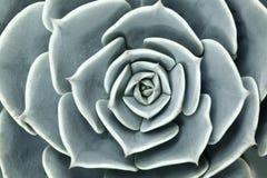 Succulent εγκαταστάσεις κάκτων στον κήπο Στοκ Εικόνες