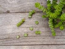 Succulent εγκαταστάσεις περιδεραίων νεφριτών με τα μικρά μοσχεύματα δίπλα σε το σε ένα ξύλινο υπόβαθρο, έτοιμο να διαδοθεί στοκ φωτογραφίες