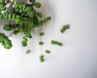 Succulent εγκαταστάσεις περιδεραίων νεφριτών με τα μικρά μοσχεύματα δίπλα σε το σε ένα άσπρο ξύλινο υπόβαθρο, έτοιμο να διαδοθεί στοκ εικόνες