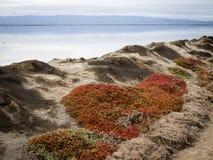 Succulent εγκαταστάσεις σε ένα berm κατά μήκος της ακτής ανατολικών κόλπων Στοκ Εικόνες