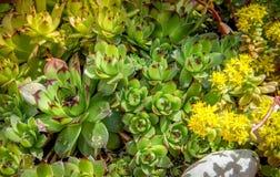 Succulent κινηματογράφηση σε πρώτο πλάνο εγκαταστάσεων sedum με τα κίτρινα λουλούδια Στοκ Φωτογραφία