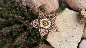 Succulent λουλούδι στην άνθιση Στοκ Εικόνες