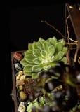 Succulent λουλούδια που γίνονται από Charismatique Στοκ φωτογραφία με δικαίωμα ελεύθερης χρήσης