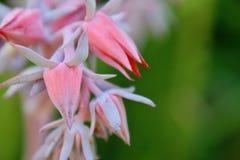 Succulent σπείρα λουλουδιών σε έναν κήπο Στοκ Εικόνες