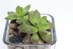 Succulent στενός επάνω Στοκ εικόνα με δικαίωμα ελεύθερης χρήσης