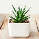 Succulent στενός επάνω Haworthia στο άσπρο δοχείο στοκ εικόνες με δικαίωμα ελεύθερης χρήσης