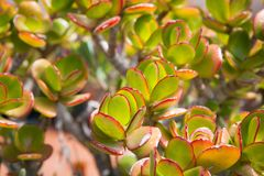 Succulent στον ήλιο Στοκ Φωτογραφίες