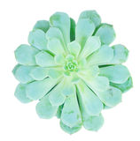 Succulent στο λευκό Στοκ φωτογραφία με δικαίωμα ελεύθερης χρήσης