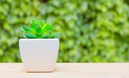 Succulent στο δοχείο Στοκ Φωτογραφία