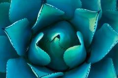 Succulent σύσταση Στοκ φωτογραφία με δικαίωμα ελεύθερης χρήσης