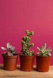 Succulent υπόβαθρο χρώματος έννοιας Στοκ Φωτογραφία