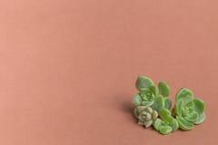 Succulent υπόβαθρο χρώματος έννοιας Στοκ εικόνες με δικαίωμα ελεύθερης χρήσης