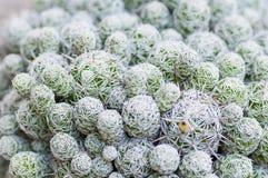 Succulent φυτό Στοκ Φωτογραφία