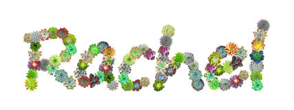 Succulent όνομα Rachel Στοκ Εικόνες
