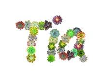 Succulent όνομα Tia απεικόνιση αποθεμάτων