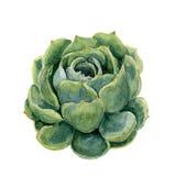 Succulent акварели Иллюстрация нарисованная рукой на белой предпосылке Для дизайна, ткани и предпосылки Реалистическое ботаническ Стоковые Фотографии RF