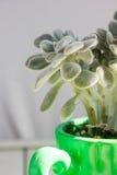 Succulent в зеленом баке на белом деревянном столе Стоковые Изображения