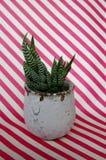 Succulent горшечного растения на srtiped предпосылке Стоковое Изображение