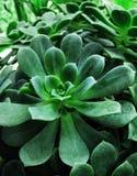 succulent зеленого завода листва Стоковые Изображения RF