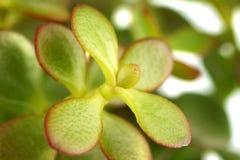 succulent зеленого завода одиночный Стоковые Фотографии RF
