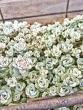succulent зеленого завода Стоковые Изображения