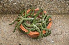 succulent зеленого завода Стоковое Изображение