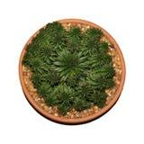 succulent кактуса Стоковые Изображения