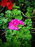 succulent пинка цветка крупного плана стоковые изображения