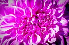 succulent пинка цветка крупного плана Стоковые Изображения RF
