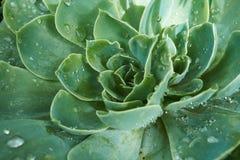 Succulent с падениями воды Стоковая Фотография