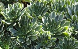 succulent image stock