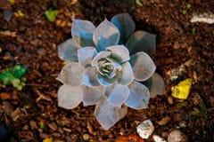 succulent royalty-vrije stock foto