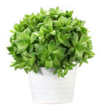 Succulent Fotografia de Stock Royalty Free