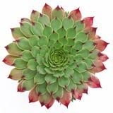 Succulent σχέδιο Στοκ φωτογραφία με δικαίωμα ελεύθερης χρήσης