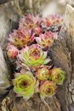 succulent Στοκ φωτογραφίες με δικαίωμα ελεύθερης χρήσης