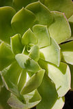 succulent Στοκ Φωτογραφίες