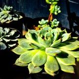 succulent Foto de Stock Royalty Free