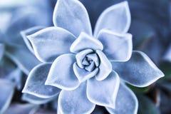 succulent Στοκ εικόνες με δικαίωμα ελεύθερης χρήσης