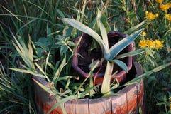 succulent Στοκ φωτογραφία με δικαίωμα ελεύθερης χρήσης