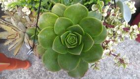 succulent Photo stock
