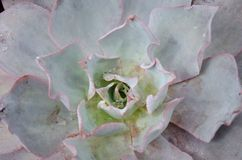 succulent Photos stock